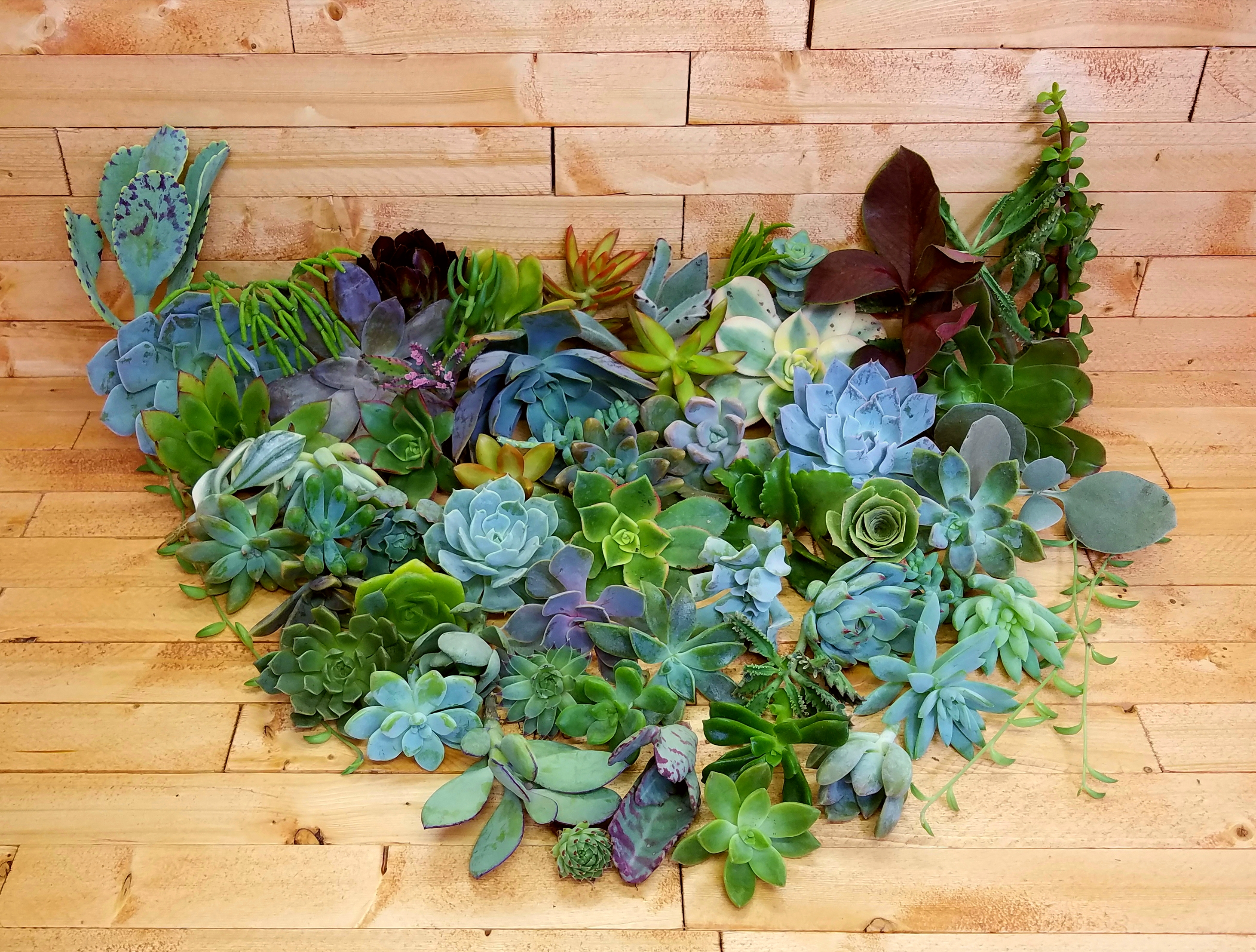 Mini succulent cuttings 100 fat plants san diego gorgeous cactus and succulent cuttings 100 fandeluxe Image collections